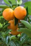 Домашнее дерево мандарина Стоковое Изображение