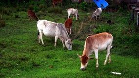 Домашние животные пася поле Стоковое Фото