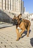 домашние животные, собаки Стоковое Фото