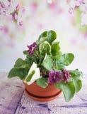 Домашние цветки в баке, фиолетовом в доме бака Стоковые Фотографии RF