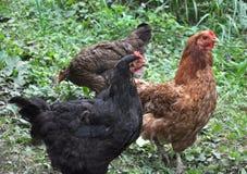 Домашние цыплята в на деревенском дворе стоковое фото