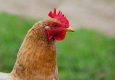 Домашние цыплята птицы пася и идя outdoors стоковое изображение rf