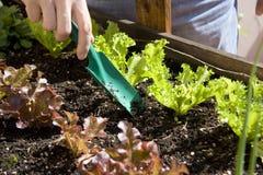 Домашний городской сад с салатом Стоковые Изображения