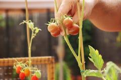 Домашний городской сад с томатами Стоковое Изображение