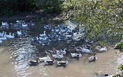 Домашний заплыв гусынь в воде Стоковое Фото