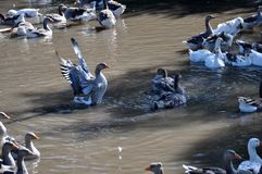 Домашний заплыв гусынь в воде Стоковое фото RF