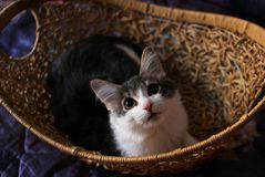 Домашний котенок сидя в корзине стоковые изображения