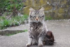Домашний кот с длинным хвостом стоковые изображения rf