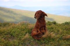 Домашний любимчик, ирландский сеттер, в горах, собака, моя собака, моя любимая собака стоковая фотография rf