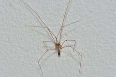 Домашний паук Стоковые Фотографии RF