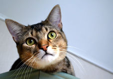 Домашний портрет красивого кота Стоковое Изображение RF