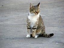 Домашний серый кот Стоковые Изображения RF