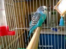 Домашний спать попугая Стоковые Изображения