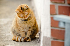 Домашняя кошка Брайна стоковое фото rf