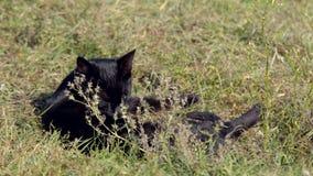 Домашняя кошка в диком сток-видео