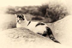 Домашняя кошка лежа и играя главные роли на утесе Тонизированный Sepia Стоковые Фото