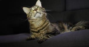 Домашняя кошка енота Мейна Tabby Брауна Blotched, мужской класть против черной предпосылки, Нормандии во Франции, замедленном дви видеоматериал