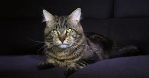 Домашняя кошка енота Мейна Tabby Брауна Blotched, мужской класть против черной предпосылки, лижа свой нос, Нормандия во Франции,  видеоматериал