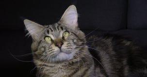 Домашняя кошка енота Мейна Tabby Брауна Blotched, портрет мужчины против черной предпосылки, Нормандии во Франции, замедленном дв сток-видео