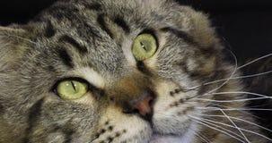 Домашняя кошка енота Мейна Tabby Брауна Blotched, портрет мужчины против черной предпосылки, Нормандии во Франции, замедленном дв акции видеоматериалы