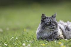 Домашняя кошка кладя на траву с космосом экземпляра Стоковое Изображение