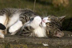 Домашняя кошка очищая Стоковые Изображения RF