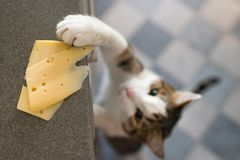 Домашняя кошка пробуя украсть кусок сыра от таблицы стоковое изображение rf