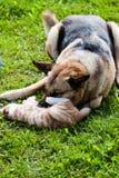 Домашняя кошка собаки воюя Стоковые Фотографии RF