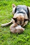 Домашняя кошка собаки воюя Стоковое Изображение RF