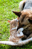 Домашняя кошка собаки воюя Стоковая Фотография RF