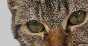Домашняя кошка Tabby Брайна на белой предпосылке, конец-вверх глаз, видеоматериал