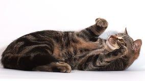 Домашняя кошка Tabby Брауна играя против белой предпосылки, сток-видео