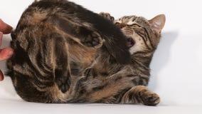 Домашняя кошка Tabby Брауна кладя против белой предпосылки, с открытым ртом, сток-видео