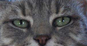 Домашняя кошка Tabby Брауна, конец-вверх глаз, реальное время видеоматериал