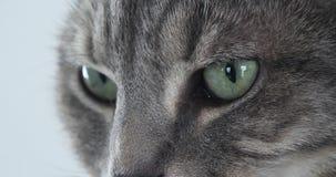 Домашняя кошка Tabby Брауна, конец-вверх глаз, реальное время сток-видео