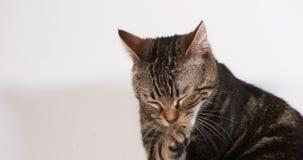 Домашняя кошка Tabby Брауна лижа против белой предпосылки, замедленного движения акции видеоматериалы