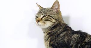 Домашняя кошка Tabby Брауна, портрет Pussy на белой предпосылке, замедленном движении акции видеоматериалы