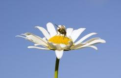 Домашняя муха на стоцвете Стоковые Изображения RF