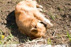 Домашняя собака Брайна стоковые фотографии rf