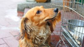 Домашняя собака щенка коричневого цвета таксы любимчика стоковые фотографии rf