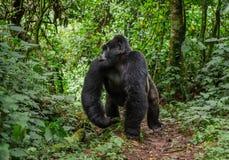 Доминантная мужская горилла горы в тропическом лесе Уганде Национальный парк леса Bwindi труднопроходимый стоковые изображения rf