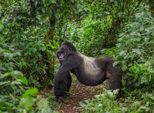 Доминантная мужская горилла горы в тропическом лесе Уганде Национальный парк леса Bwindi труднопроходимый Стоковое Фото
