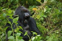Доминантная мыжская горилла горы Стоковое Фото