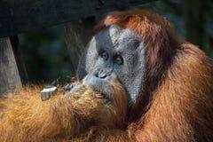 Доминантный мужской орангутан в джунглях Суматры Стоковое фото RF