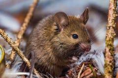 Домовая мышь стоковая фотография