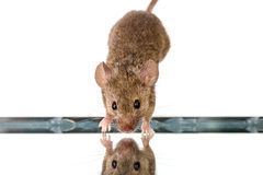 Домовая мышь (musculus Mus) скача вниз Стоковые Фотографии RF