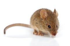 Домовая мышь (musculus Mus) Стоковые Изображения RF