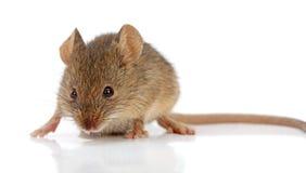 Домовая мышь (musculus Mus) Стоковое Изображение
