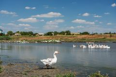 Домодельные гусыни на пруде в деревне Стоковые Фото