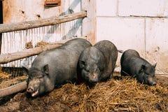 Домочадец большие черные свиньи в ферме Сельское хозяйство свиньи поднимает и Стоковое Изображение
